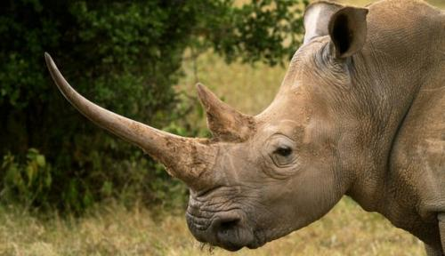 rhino horn 3/19