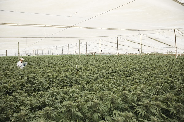 fields of cannabis pclo