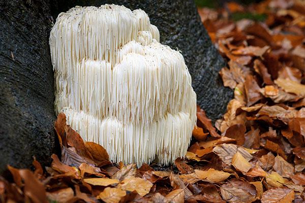 nvj puromind mushroom