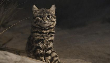 blackfootedcat